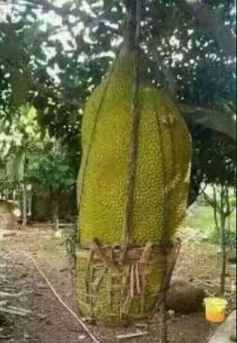 Khác với giống mít bình thường, mít siêu dài Malaysia mỗi quả dài đến hơn 1 mét...