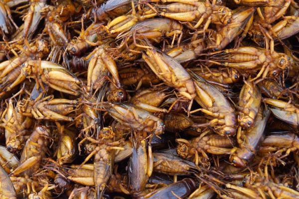 Dế mèn: Loài côn trùng dinh dưỡng cao này được nuôi ở các trang trại và là nguyên liệu của món nhậu nhiều người yêu thích. Dế được rửa sạch, rán trong chảo ngập mỡ cho tới khi giòn tan. Nhiều người cho biết món này có vị bùi đặc trưng. Ảnh: Inhabitat.