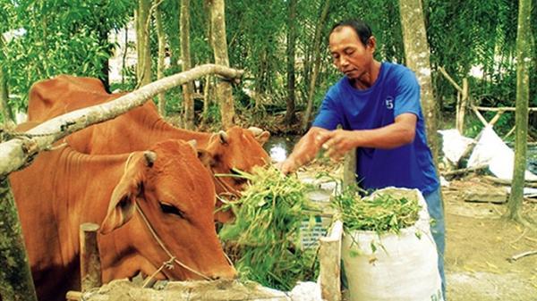 Từ nguồn vốn hỗ trợ của Chính phủ, nhiều hộ đồng bào Khmer ở Trà Vinh thoát nghèo nhờ nuôi bò vỗ béo. Ảnh: PHÚC SƠN