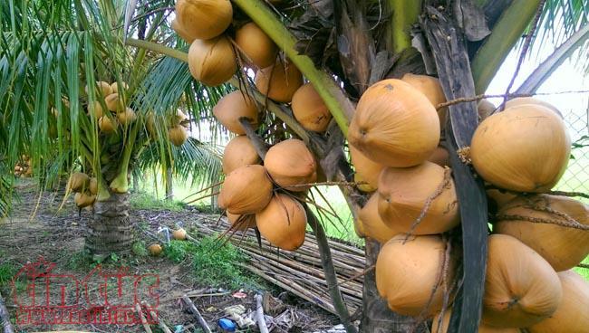 Vườn dừa sai quả của bà Trắng, các buồng dừa chỉ cao cách mặt đất 50 cm.