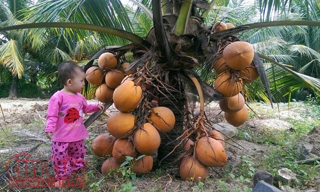 Giống dừa này chỉ trồng khoảng hơn 2 năm là cho ra lứa trái đầu tiên.