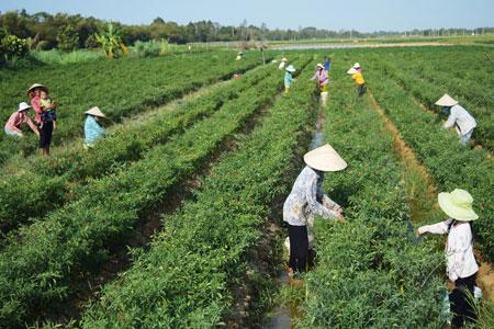 Chính sách hỗ trợ vốn từ các nguồn vốn trồng ớt chỉ thiên, tăng thu nhập, giảm nghèo bền vững cho người dân xã Ngũ Lạc, huyện Duyên Hải (Trà Vinh)
