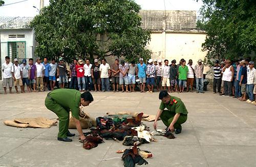 Cảnh sát tạm giữ 70 con bạc và thu giữ hàng chục con gà đá cùng nhiều tang vật liên quan. Ảnh: Lan Vy.