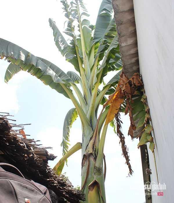 Nhiều người cho rằng cây chuối này lạ, độc vì thân to tướng, dáng cao hơn nhiều so với các giống chuối khác