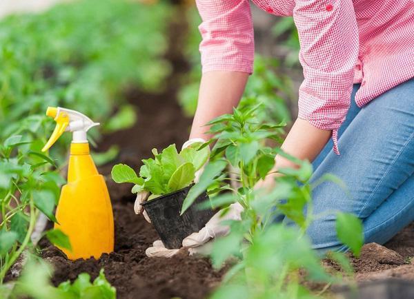Aspirin được sử dụng hiệu quả khi gieo trồng cây từ cành giâm, mẩu cây thừa.