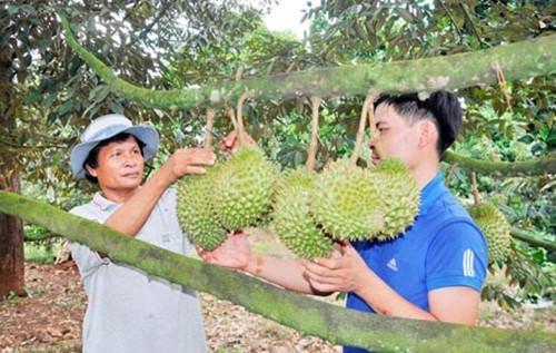 Mùa sầu riêng chín cũng là lúc các nhà vườn bước vào vụ thu hoạch. Ảnh: Baodongnai.