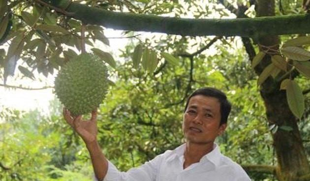 Vườn sầu riêng 7.000 m2 của gia đình ông Huỳnh Văn Sẵn (Long Tiên, huyện Cai Lậy, Tiền Giang) cho thu gần 1 tỷ đồng, trừ chi phí còn lãi không dưới 600 triệu đồng. Ảnh: TTXVN.