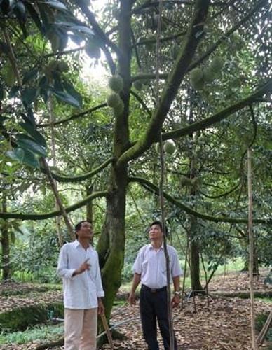 Nhờ vườn chuyên canh sầu riêng, gia đình ông Sẵn từ chỗ nghèo khó đã đổi đời, trở thành triệu phú nông thôn miệt vườn. Ảnh: TTXVN.