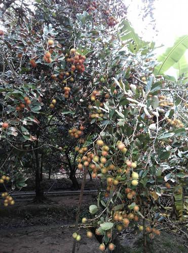 Vườn chôm chôm sai trĩu quả tại ấp Tân Qui, xã Tân Phú, huyện Châu Thành, Bến Tre. Ảnh: Foody.