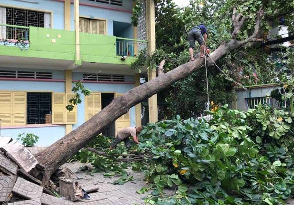 Một cây bàng bật gốc bên trong khuôn viên trụ sở công an quận Tân Bình