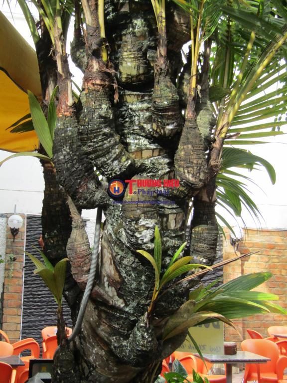 Cây dừa 38 ngọn tại quán cà phê 338