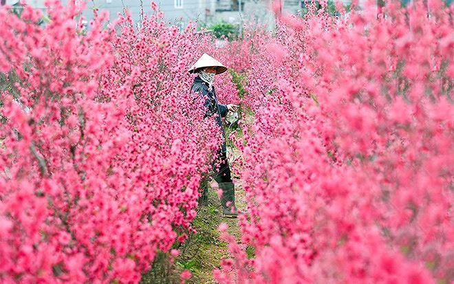 Hoa đào Nhật Tân nổi tiếng Hà Nội bởi sắc thắm, cứ vào tháng Chạp, nhiều người dân đã tới các vườn đào Nhật Tân