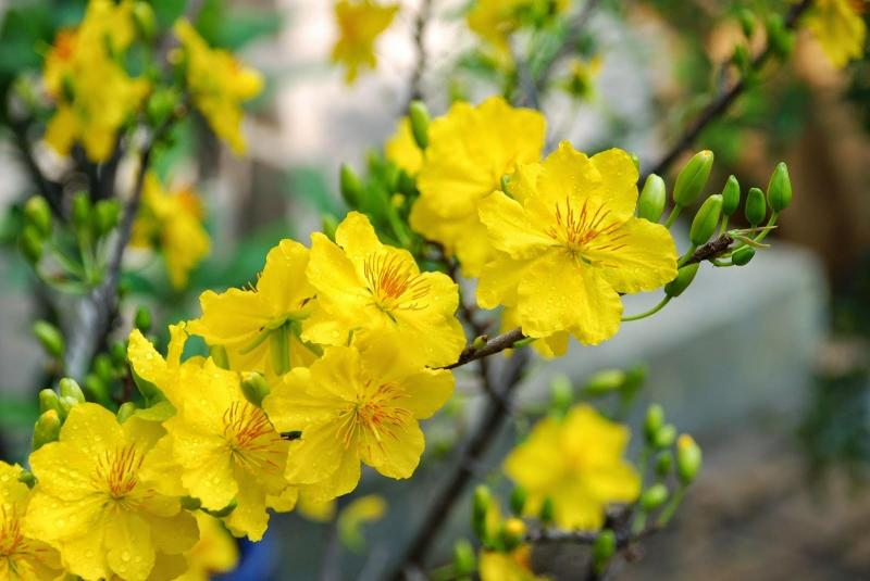 Nếu như hoa đào là biểu tượng mùa xuân của miền Bắc thì hoa mai lại là loại hoa mang đến không khí Tết ở miền Nam. Phước Định là ấp miệt vườn nổi tiếng của huyện Long Hồ, tỉnh Vĩnh Long. Đây là một trong những nơi mà người yêu thích mai vàng Sài Gòn thường lui tới.Hoa mai rất đa dạng về chủng loại nhưng mai vàng, còn gọi là hoàng mai hay lạp mai, có lẽ vẫn là loài hoa thân thuộc và được yêu thích nhất.