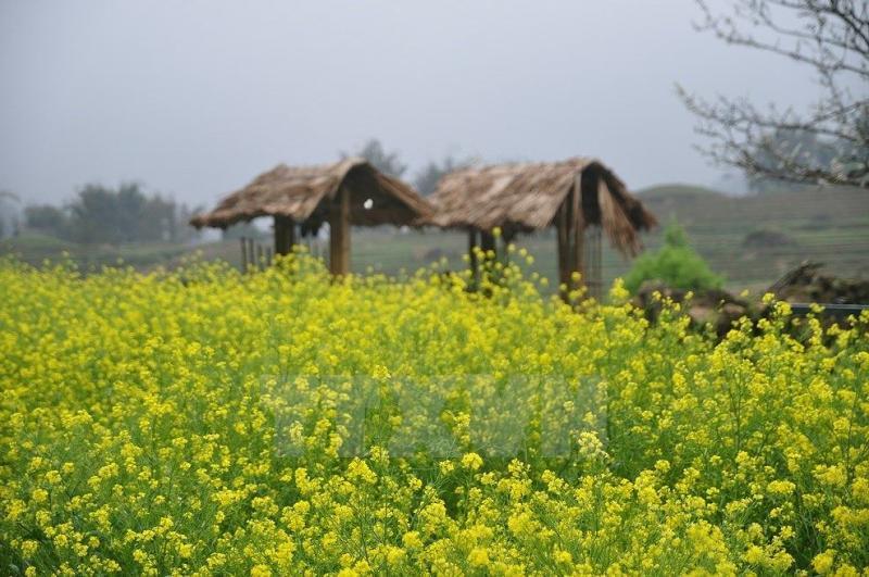 Từ cuối tháng 12 đến sau tết Nguyên Đán, nhiều du khách chọn lựa tới Sa Pa ngắm mùa hoa cải vàng rực, hoa cải có nhiều trên các bản người Tày, người Mông. Vì thời tiết dịp này rất lạnh, du khách cần chuẩn bị thêm quần áo ấm.