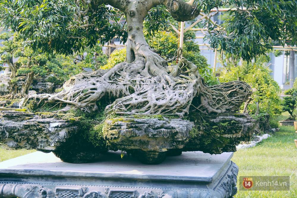 Bộ rễ cây sanh ôm chặt vào mảng đá.