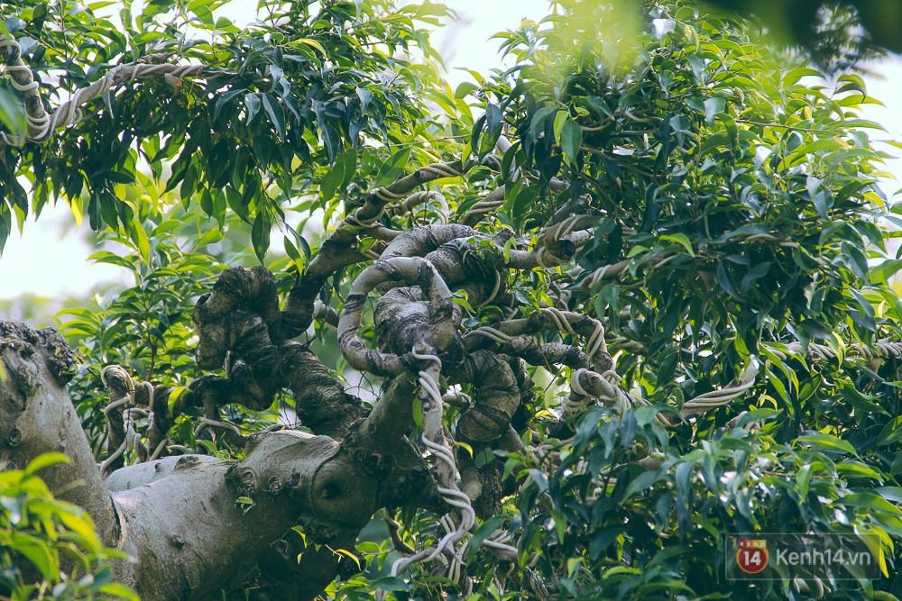 Cặp sanh đang được chăm sóc rất tốt, lá xanh, thân cây khoẻ khoắn.