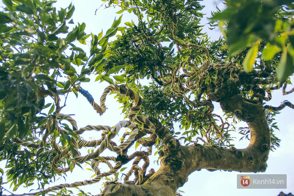 Phần thân của cây sanh này cũng được tạo dáng đặc biệt.