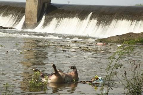 Xác lợn chết trôi nổi trên sông Phó Đáy gây ô nhiễm môi trường nghiêm trọng (ảnh:vinhphuc.gov.vn)