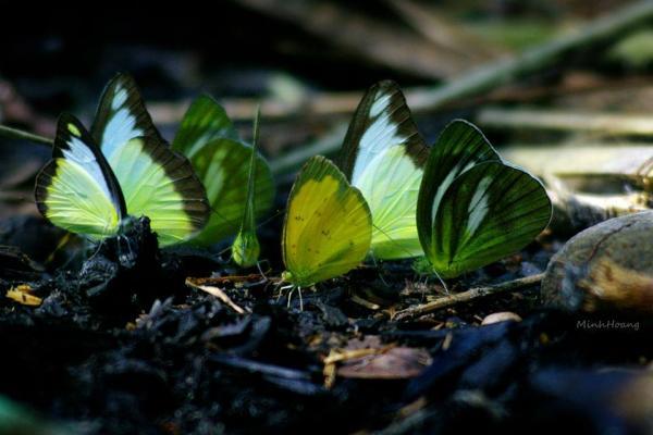 Du khách sẽ được chiêm ngưỡng những loài bướm đủ màu sắc rực rỡ ( Nguồn Phuot Review)