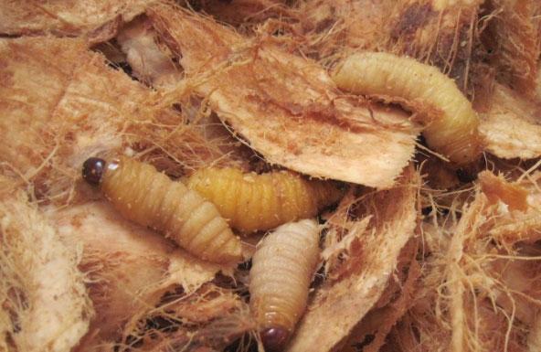 Đuông dừa có hình dạng giống con sâu non, thân mềm nhũn, màu trắng sữa (Ảnh: Vietnamnet)