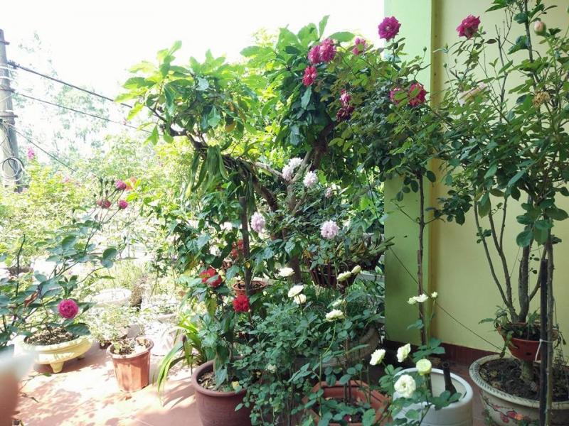 Chị Oanh trồng nhiều nhất là hoa hồng.