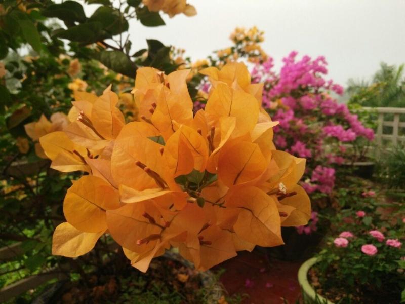 Cả hai ban công đều được trồng thêm hoa giấy ở sát lan can.