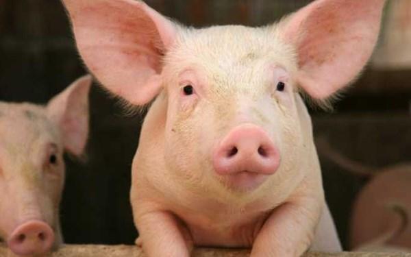 Theo thông tin cập nhật giá lợn hơi mới nhất, giá lợn hơi hôm nay ổn định trên cả nước.