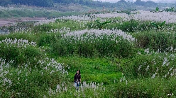 Cứ vào dịp đầu đông, người Hà Nội lại rủ nhau tìm đến ven sông Hồng để ngắm những thảm lau nở trắng trời, tạo nên một bức tranh thơ mộng giữa lòng Thủ đô. (Ảnh: Hachi8)