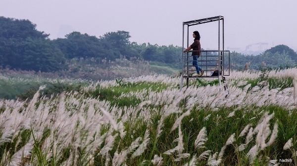 Và vào những ngày đầu đông như thế này, bạn sẽ ngỡ ngàng trước vẻ đẹp tinh khôi của bạt ngàn cỏ lau. (Ảnh: hachi8)