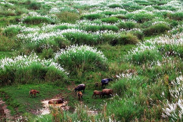 Đứng trên cầu Chương Dương hoặc cầu Long Biên nhìn xuống, rừng cỏ lau nhẹ nhàng đung đưa trong gió tạo nên bức tranh ngày đông thơ mộng và lãng mạn. (Ảnh: mytour)