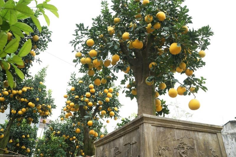Theo anh Mến, cây bưởi cổ thụ này trước khi về tay anh đã có tới 44 năm tuổi. Sau 3 năm chăm sóc, cây bưởi này đã có tuổi thọ tới 47 tuổi - nhiều tuổi nhất trong số 60 cây bưởi cổ thụ ở trong vườn nhà anh Mến.