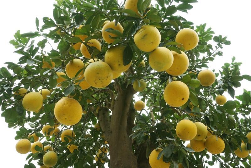 Được biết, năm nay cây bưởi tự ra khoảng 50 quả và chủ nhân đã ghép thêm 250 quả. Nâng tổng số quả bưởi lên tới 300.
