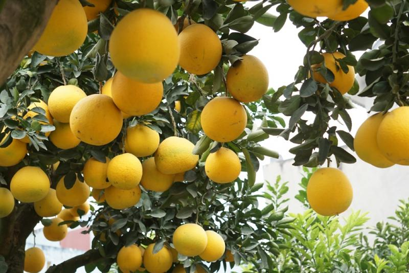 Theo anh Mến, bưởi dễ sống trong chậu nhưng việc ghép quả không đơn giản đặc biệt với số lượng ghép lên tới 250 quả.