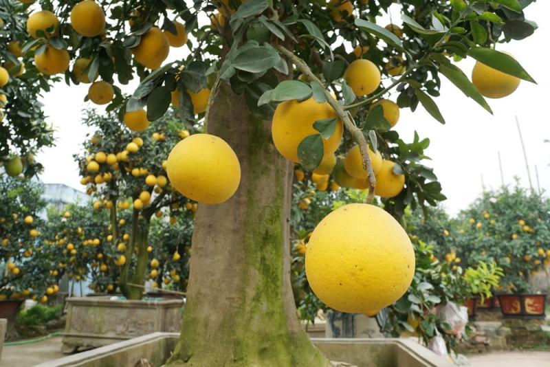 Được biết, mỗi năm anh Mến tốn khá nhiều tiền và công sức để mua bưởi quả cũng như ghép lên cây bưởi cổ thụ.