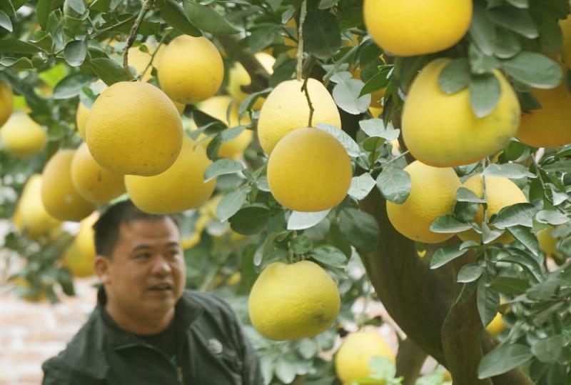 Theo anh Mến, năm tới, gia đình anh tiếp tục tung ra nhiều cây bưởi cổ thụ có tuổi thọ cao hơn.