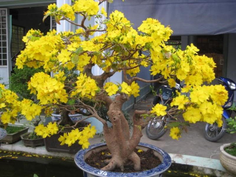 Hoa mai là cây cảnh được ưa chuộng đặc biệt trong dịp cuối năm của người Việt