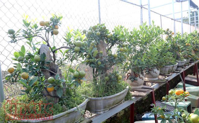 Quất bonsai được uốn nắn cho ra nhiều dáng đẹp, ý nghĩa, lại phù hợp với nhiều không gian trưng Tết nên được khách hàng ưa thích, nhất là các gia đình sống tại chung cư hay những nhà có diện tích nhỏ