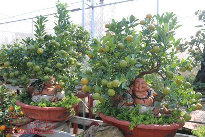 Nhà vườn Long Hương hiện có khoảng 300 cây quất bonsai được tạo dáng trong những chiếc bình gốm sứ Phù Lãng, Bát Tràng công phu và cây có nhiều hình dáng độc, lạ.