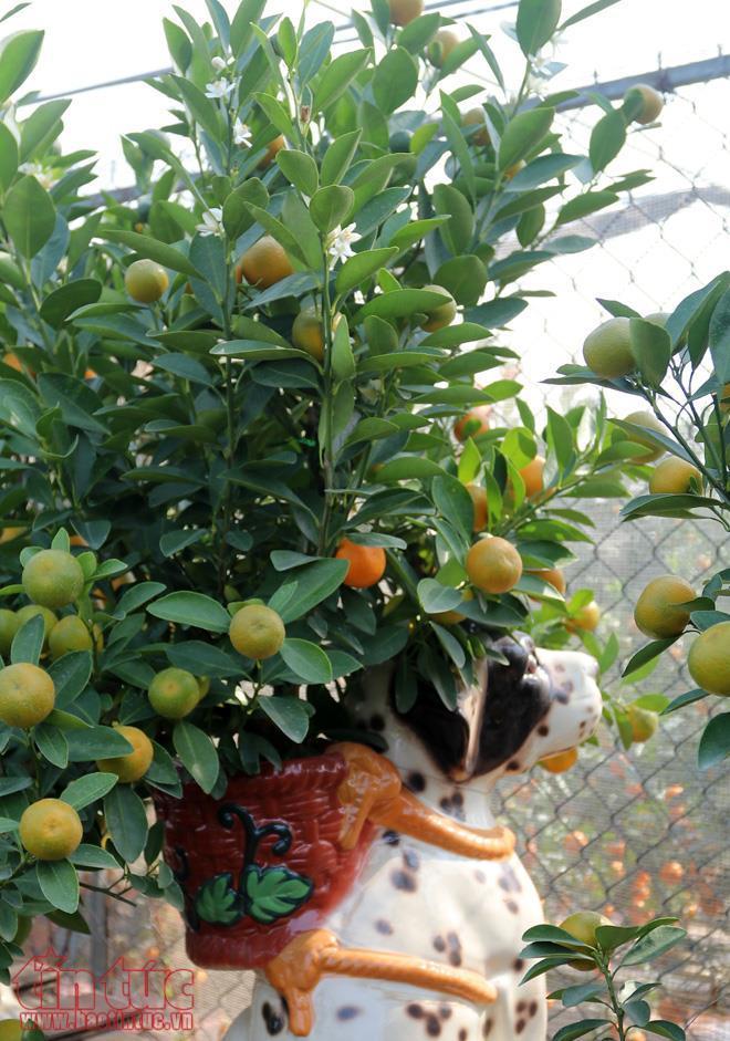 Hiện tại, làng quất ở Tứ Liên có khoảng gần 10 gia đình trồng quất cảnh bonsai để phục vụ Tết.