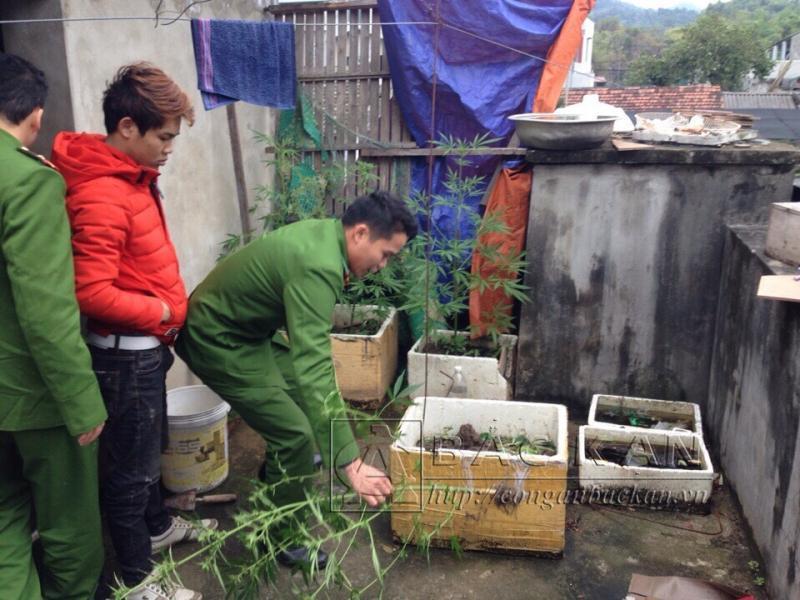 Lực lượng chức năng nhổ bỏ số cây cần sa được trồng trên sân thượng nhà bà Hải