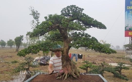 Hiện cây tùng của anh Toản đã được nhiều khách đến thăm quan, hỏi mua nhưng do chưa được giá nên gia đình anh Toản chưa muốn bán. Ảnh: Dân Việt