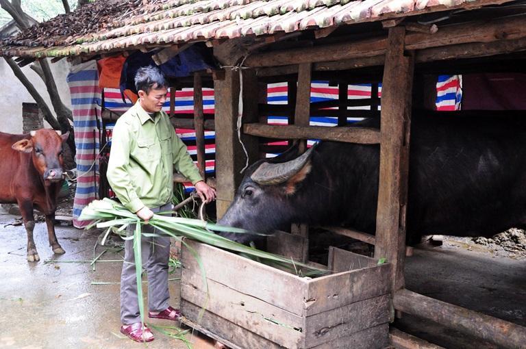 Chủ trâu Nguyễn Văn Quý, xã Hải Lựu (Sông Lô) chia sẻ kinh nghiệm chăm sóc các ông Cầu . Ảnh: Chu Kiều