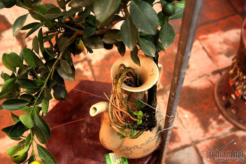 Một bình quất cảnh độc đáo, bộ rễ được nghệ nhân uốn khỏi miệng bình rồi mới nắn dáng cây. Cần ít nhất hai năm mới có thể cho ra một bình quất như thế này
