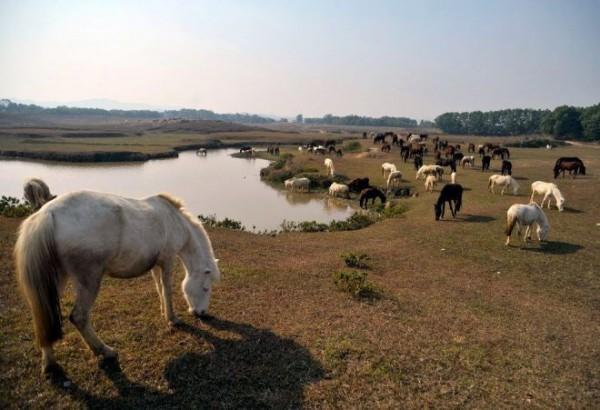 Đàn ngựa nhởn nhơ gặm cỏ bên hồ. Ảnh: Hoàng Anh.