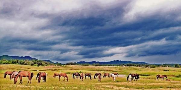 Đàn ngựa thường được lùa ra đồng cỏ từ 10 - 15h hàng ngày. Ảnh: Club photo Thái Nguyên.