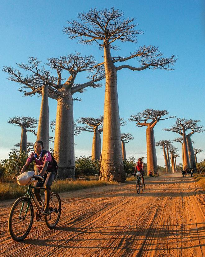 Madagascar nổi tiếng về sự đa dạng, độc đáo của quần thể sinh vật như cây baobap. Trong đó đại lộ Avenue of Baobabs, Madagascar là nơi lý tưởng để ngắm những hàng cây baobab khổng lồ, vốn được xem là tượng trưng của hòn đảo độc đáo nhất thế giới này.