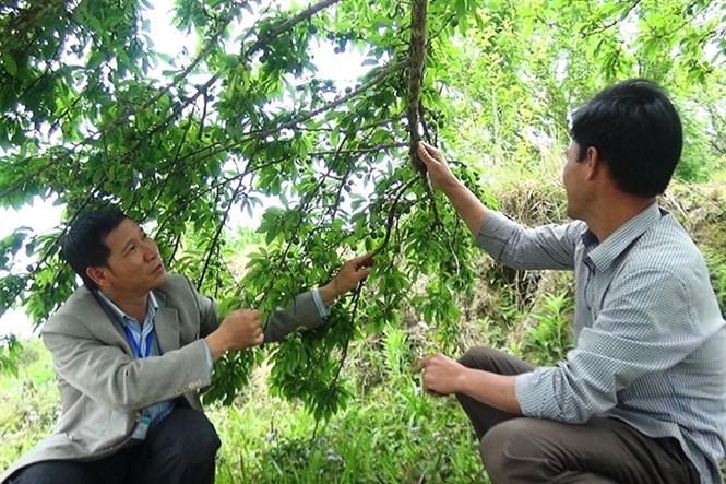 Tháng 5 là lúc những cây mận đỏ (mận máu) ở huyện Hoàng Su Phì (Hà Giang) chuẩn bị thu hoạch. Ảnh: Nongnghiep.