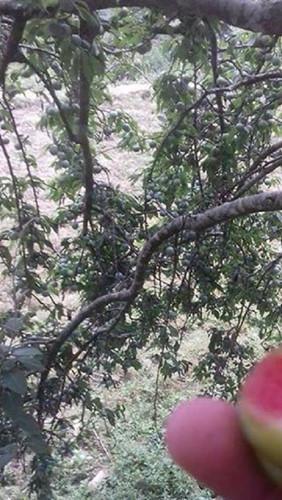 Năm nay thời tiết thuận lợi nên những cây mận máu Hoàng Su Phì đều sai quả. Ảnh: FB Diep BQ.