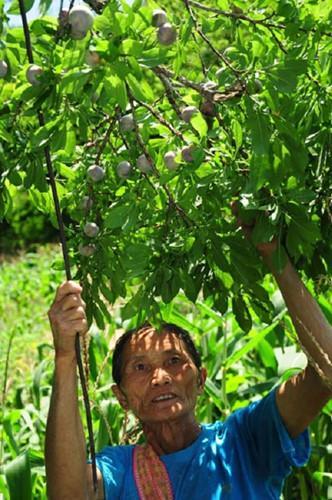 Cây mận máu dễ trồng. Vào mùa mưa, chỉ cần đào cây con trong vườn, cuốc hố vừa phải, đặt cây giống xuống, lấp chặt đất, cây sẽ vươn lên. Ảnh: Nongnghiep.