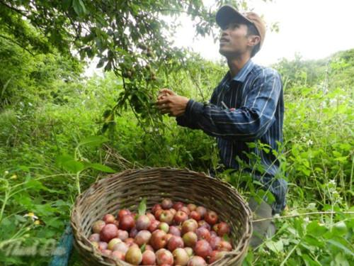 Sau khoảng 3-4 năm, cây mận bắt đầu cho quả. Ảnh: Baocongthuong.